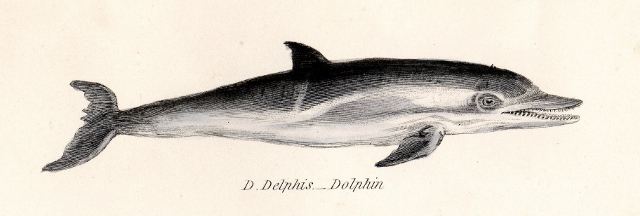 19th century print of a Dolphin